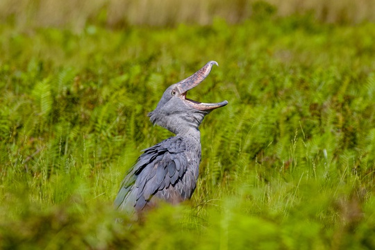 Shoebill in the Victoria Delta of Murchison Falls National Park, Uganda