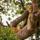 Tree-climbing lions on Ishasha Plains, Queen Elizabeth National Park, Uganda