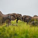 Elephants playing in Murchison Falls National Park, Uganda