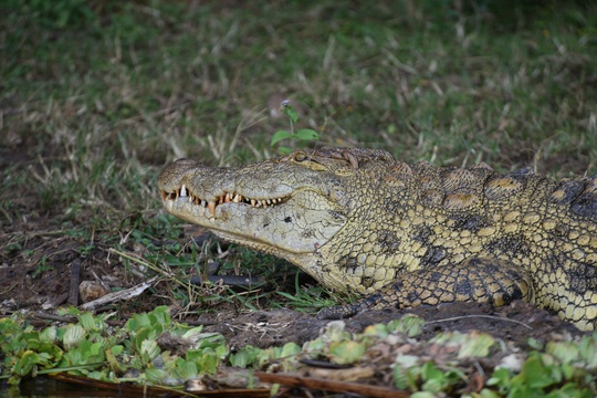 Crocodile on the banks of Lake Mburo in Lake Mburo National Park, Uganda