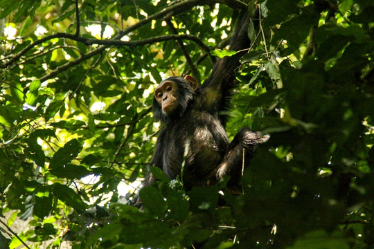 Chimpanzee in the Forest of Kibale National Park, Uganda