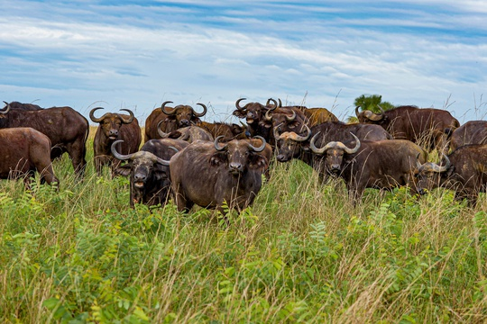 Buffalo cautiously inspecting their visitors, Uganda.