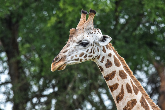 A Giraffe in Murchison Falls National Park, Uganda