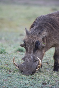 Warthog grazing on the plains of Lake Mburo National Park, Uganda