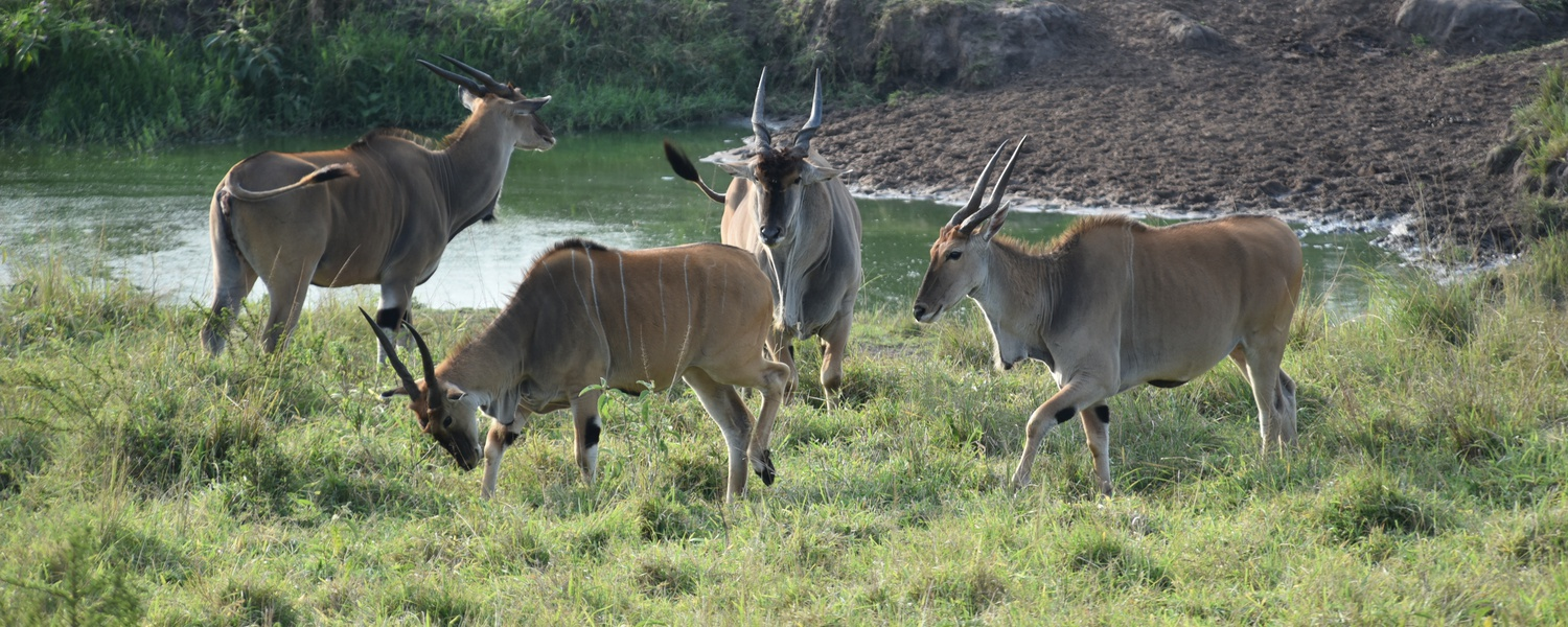 Eland in Lake Mburo National Park, Uganda