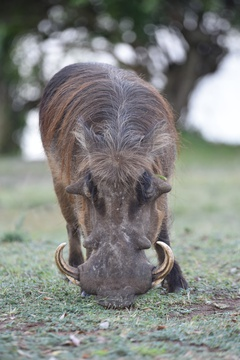 Warthog in Lake Mburo National Park, Uganda