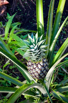 A pineapple plant growing a tasty fruit in Uganda.