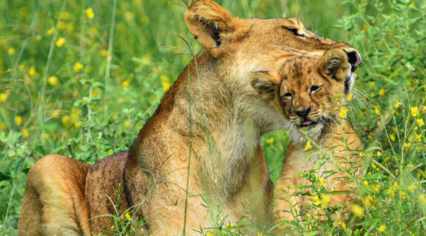 A lioness and her cub Murchison Falls National Park Uganda