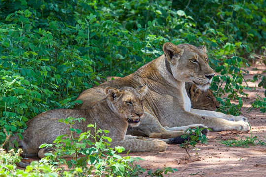 Lions relaxing on the roadside, Uganda