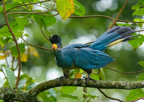 The vivid colours of the Great Blue Turaco.