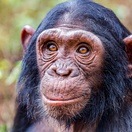 Chimpanzee at Ngamba Island Chimp Sanctuary Uganda