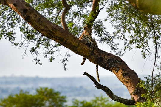A leopard in Murchison Falls National Park, Uganda