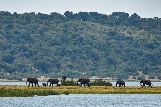 Elephants on the Mweya Peninsula at Queen Elizabeth National Park, Uganda