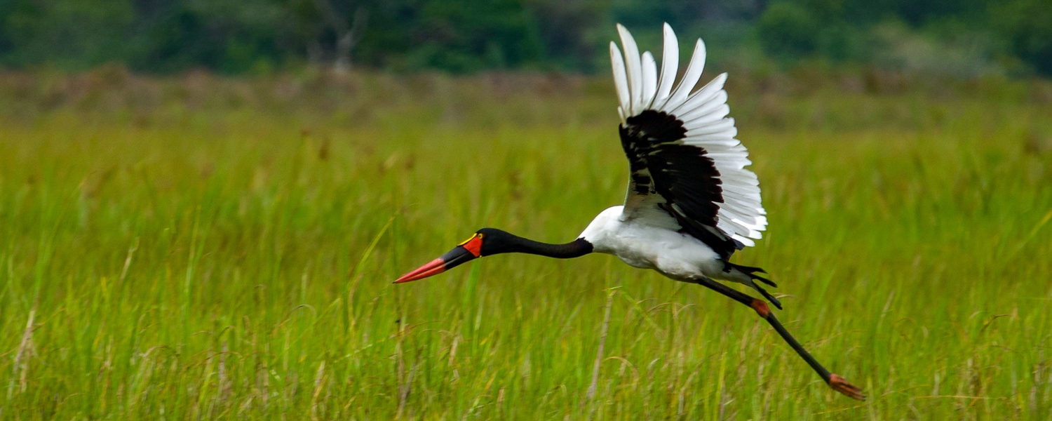 Saddle-billed Stork at Lugogo Swamp Nakasangola